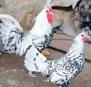 مرغ و خروس اپنزلر